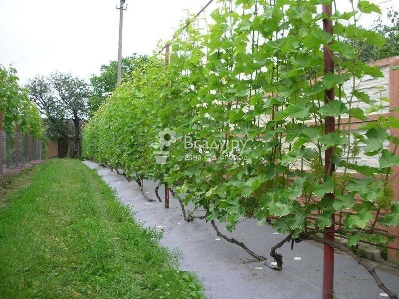 Как сделать шпалеру для винограда своими руками, пошаговая инструкция