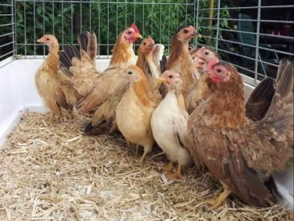 Карликовые брамы: описание породы кур, ее особенности и характеристики, как выращивать и где купить