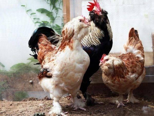 Почему гибнут цыплята и как это предотвратить?