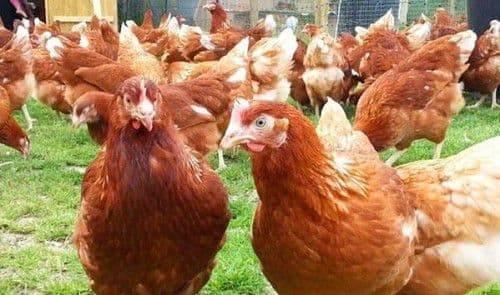 Описание кур породы мастер грей (17 фото): выращивание цыплят цветного бройлера, особенности ухода и кормления, отзывы владельцев