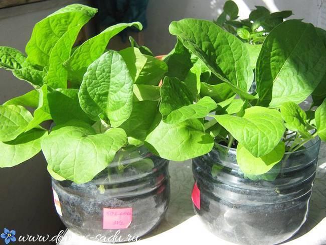 Посадка огурцов в 5 литровых бутылках: правила выращивания и ухода