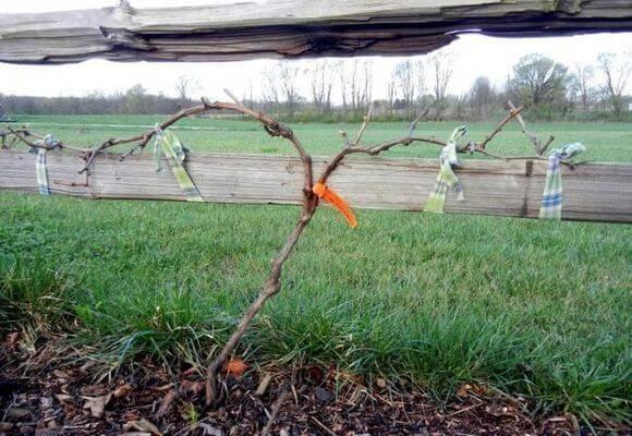 Как правильно подвязать виноград на шпалеру