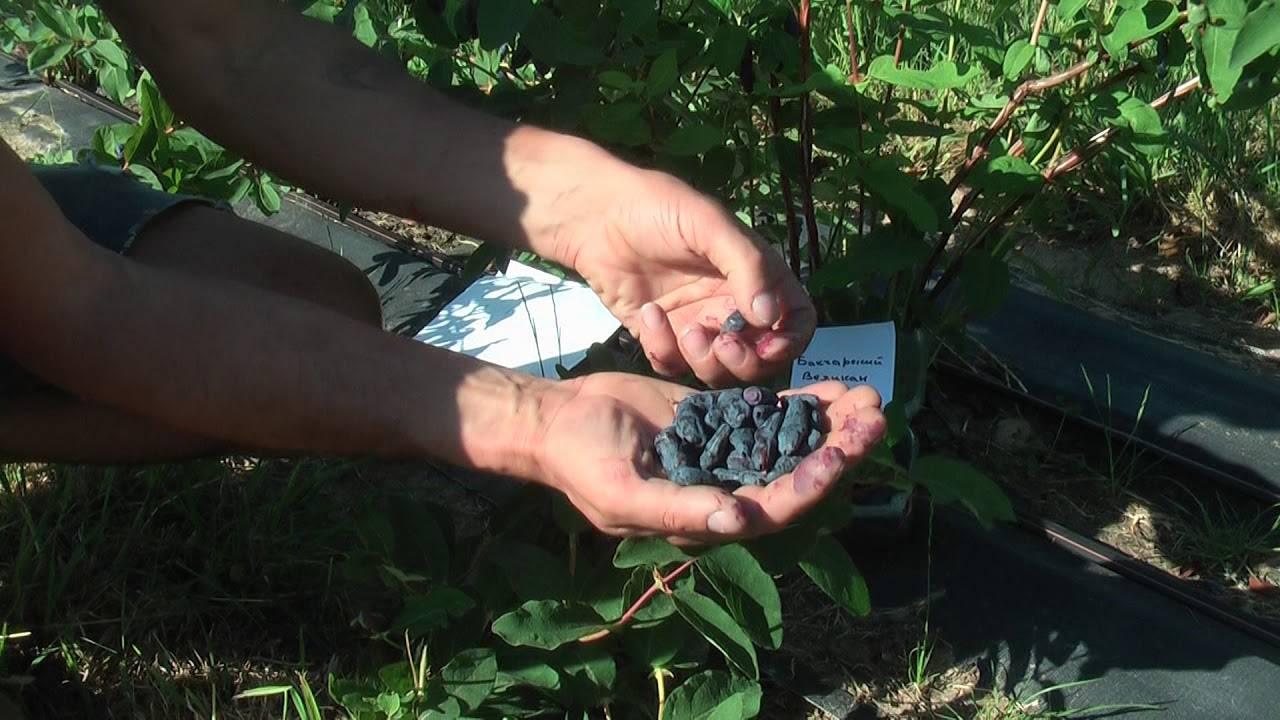 Жимолость съедобная: краткий обзор лучших сортов для выращивания в разных регионах