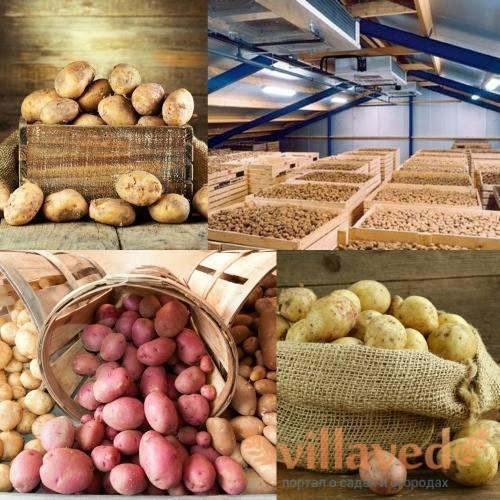 Температура хранения картофеля в домашних условиях
