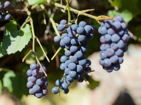 Виноград не плодоносит почему. вредители и болезни
