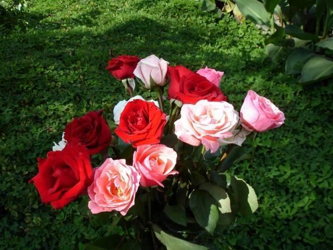 Все о выращивании роз и об уходе за ними