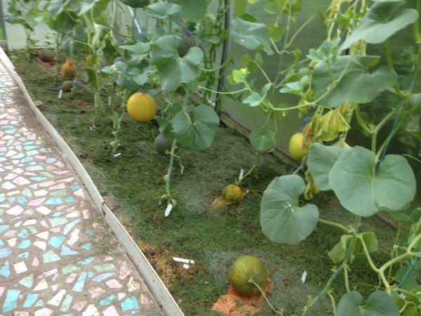 Выращивание дыни в теплице: новые эксперименты