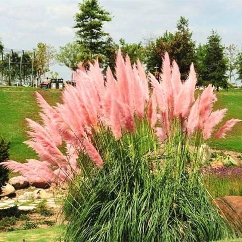 Пампасская трава для оформления сада кортадерия
