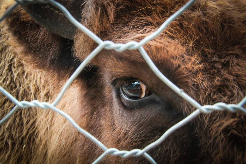 У теленка болят глаза