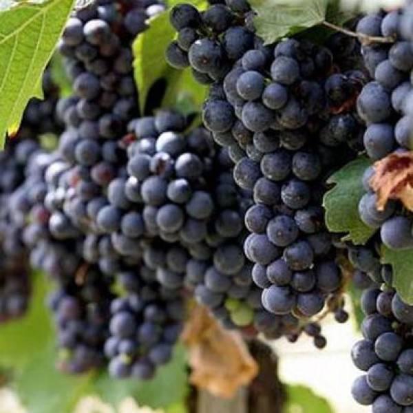Виноград илья муромец. илья муромец- сорт с замечательными характеристиками