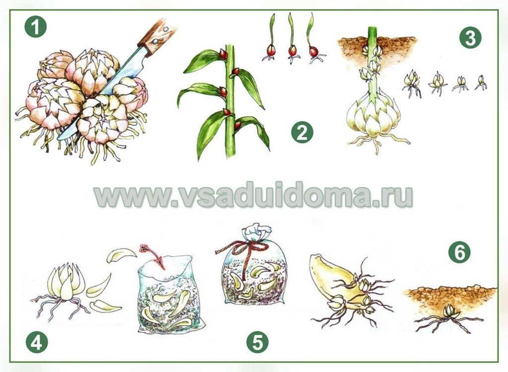 Размножение лилий: три основных способа + советы