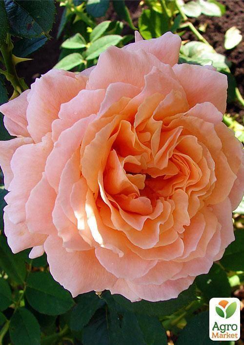 Описание розы полька
