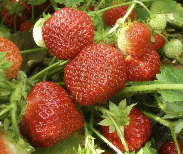 Клубника марышка: описание сорта, фото, отзывы, особенности выращивания