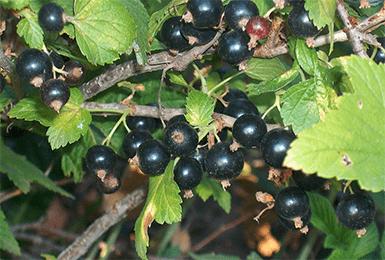 Смородина Голубка: описание и характеристики сорта, уход и выращивание