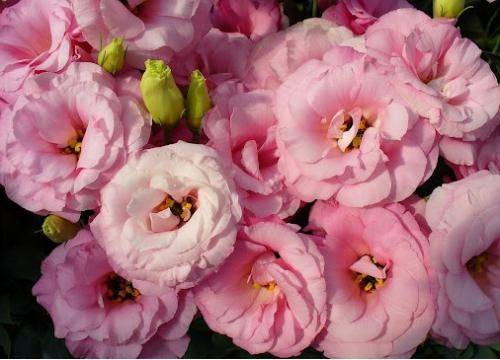 Пионовидная роза - описание и особенности ухода