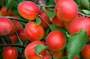 Когда созревают абрикосы - точное определение сроков созревания в зависимости от сорта (90 фото)