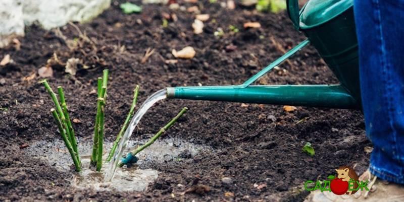 Чем подкормить розы в июне - самые лучшие методы и средства