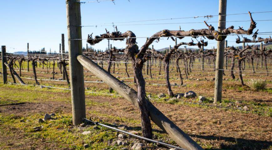 Как правильно обрезать виноград весной чтобы был хороший урожай, пошаговая схема