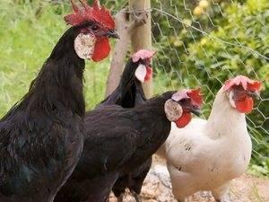 Могут ли куры без петуха нести яйца? зачем несушкам нужен петух? откуда берутся яйца без петуха и как появляются цыплята? отличия оплодотворенных яиц