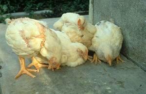 Болезни и лечение цыплят