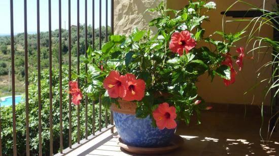 Гибискус сабдариффа — полезные свойства, описание