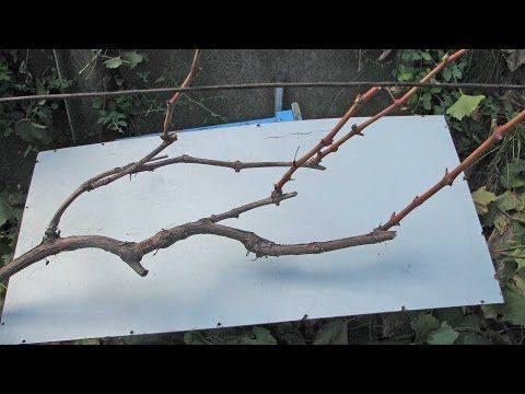 Формирование куста винограда: как правильно формировать виноградную лозу