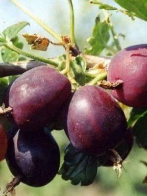Крыжовник черносливовый: описание сорта и фото