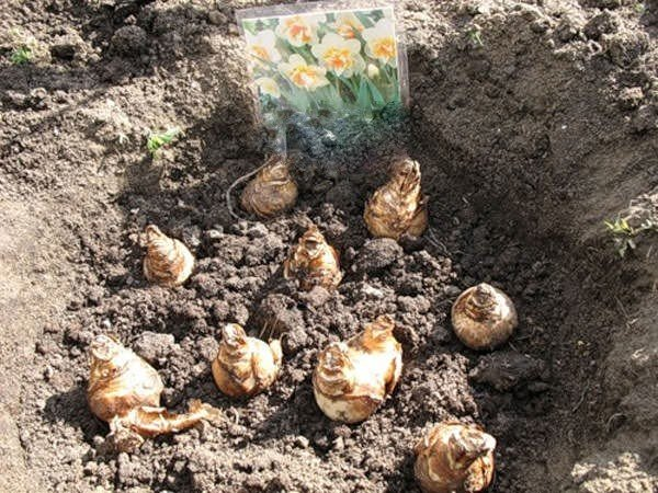11 самых частых вопросов о посадке луковичных