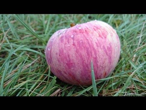 Сорт яблони коричное полосатое – описание, фото