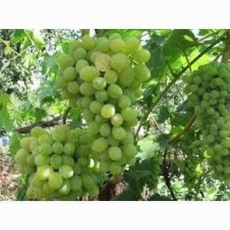 Описание сорта винограда плевен мускатный