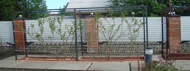 Выращивание винограда из черенков зимой