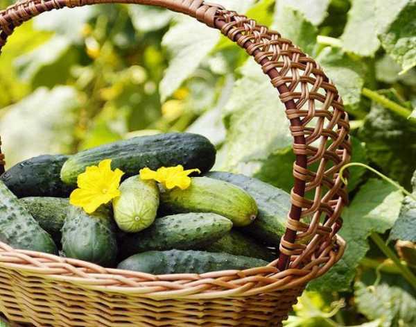 Удобрение для огурцов при посадке в открытый грунт или теплицу