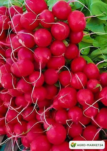 Редис чемпион: описание и фото сорта,  преимущества и недостатки, выращивание овоща, сбор и хранение урожая, болезни и вредители, профилактика проблем