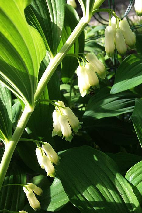 Polygonatum orientale desf. описание таксона