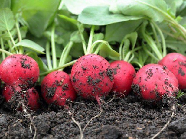 Редис — лучшие сорта для открытого грунта и теплицы