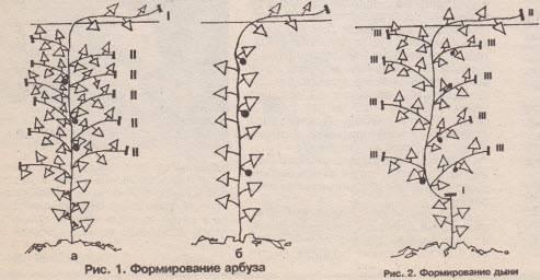 Как прищипывать арбузы и дыни: подробная схема