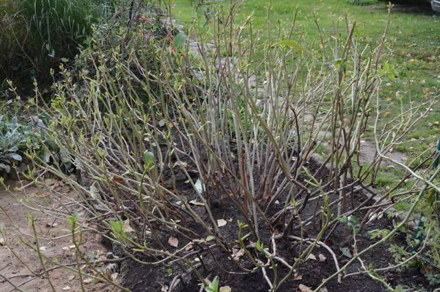 Подготовка гортензии к зиме: как укрыть, утепление растений перед зимовкой