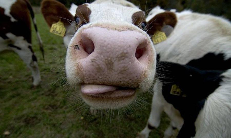Сколько может дать корова молока в день