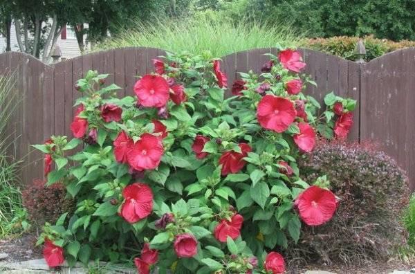 Гибискус садовый - посадка в открытый грунт и особенности ухода