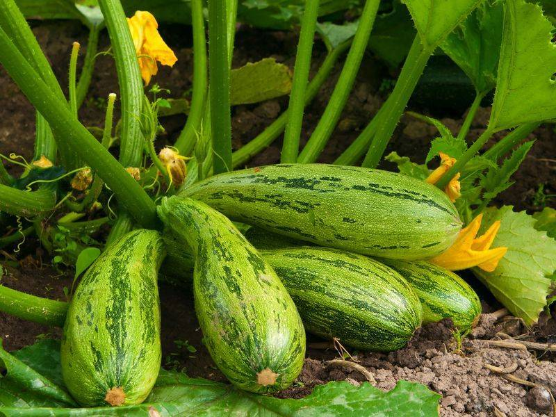 Как омолодить кабачок и продлить плодоношение