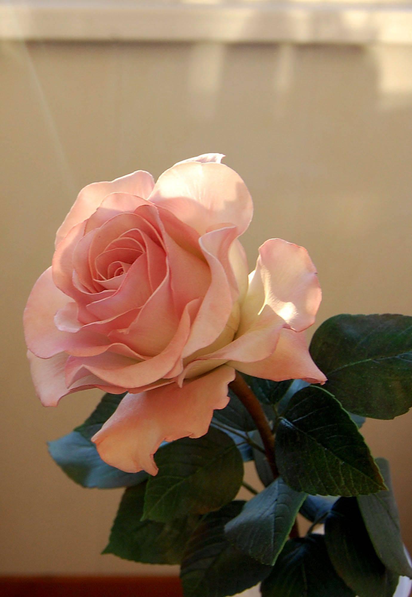 Чайная роза: описания сортов и правила ухода