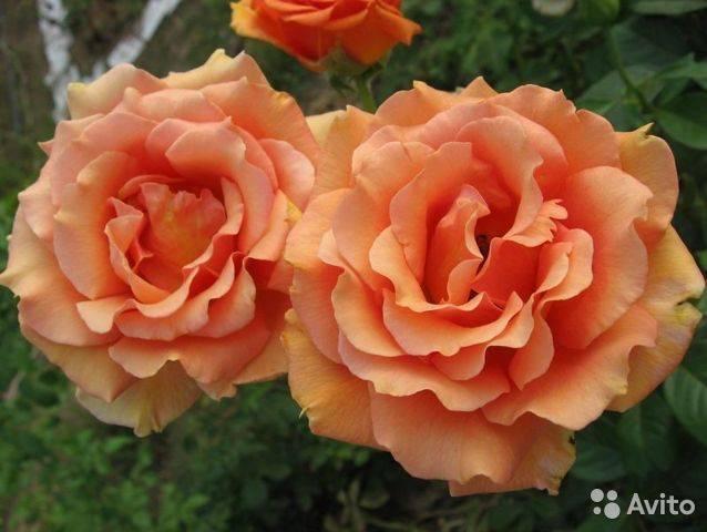 О розе голубой нил (блю нил): описание и характеристики чайно-гибридной розы