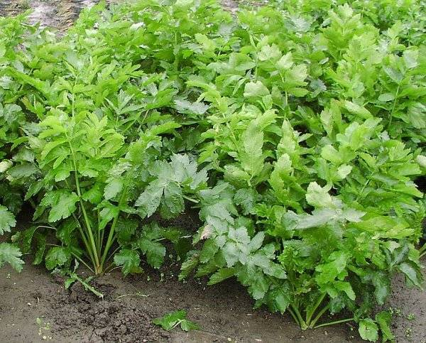 Всё про выращивание пастернака из семян: посадка, уход в открытом грунте, сбор урожая