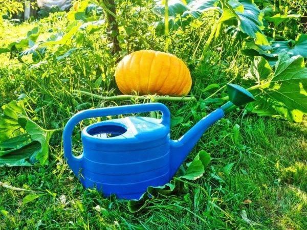 Овощ тыква: выращивание из семян, фото, посадка и уход в открытом грунте