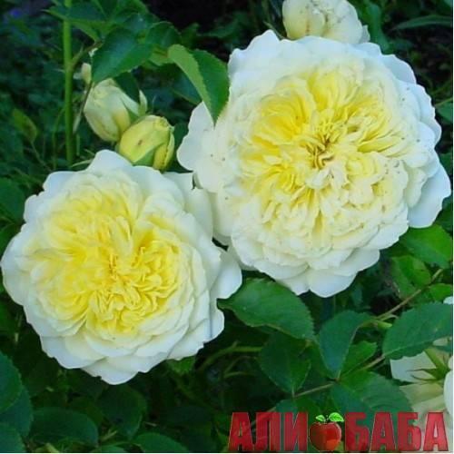 Английская роза «пилигрим»: выращивание и уход