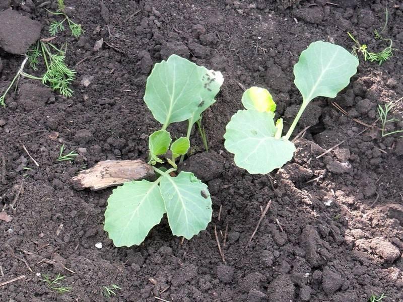 Посадка капусты в грунт