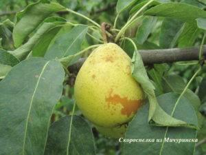 Самая первая груша, которая одарит вас плодами - скороспелка из мичуринска