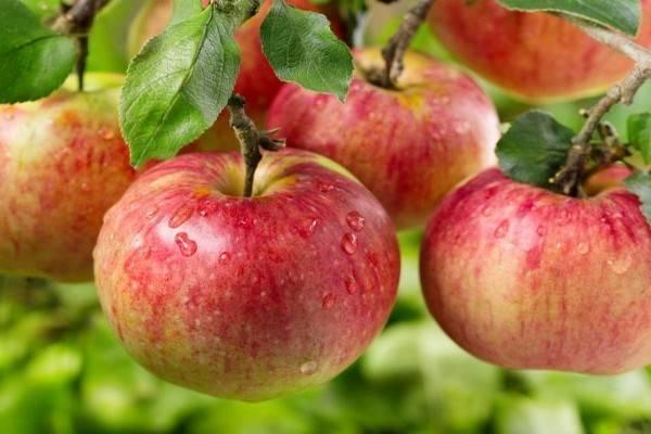 Яблоня ауксис описание