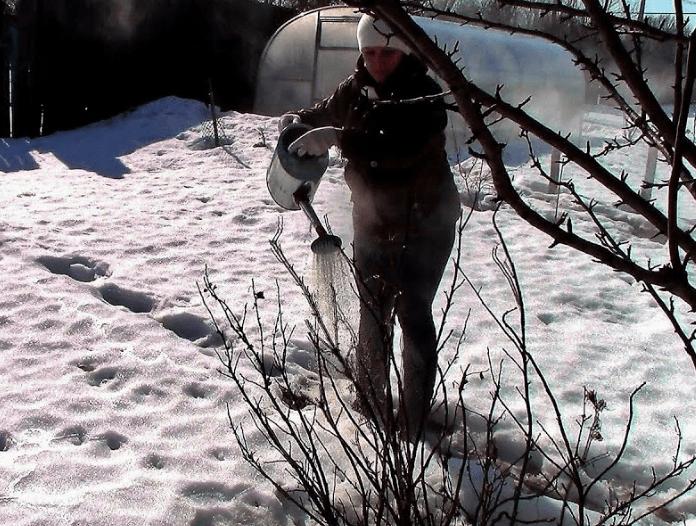Обработка черной смородины кипятком осенью. как ухаживать за смородиной после зимы