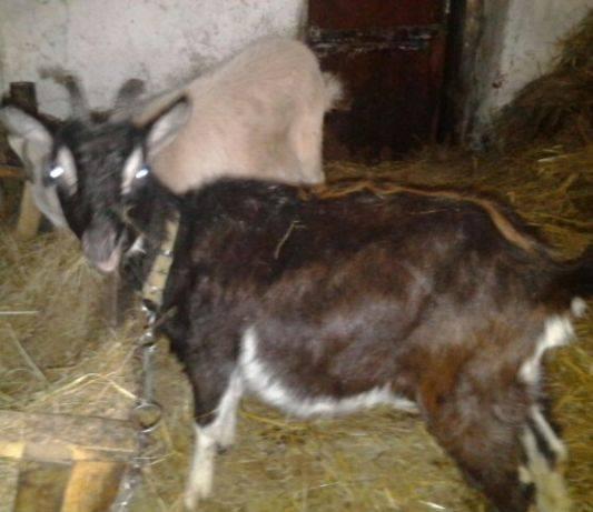 Содержание молочных коз: правила кормления, ухода, доение